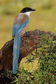 The Azure-winged Magpie (Cyanopica cyanus) is a bird in the crow family. It is 31–35 cm long & similar in overall shape to the Eurasian Magpie (Pica pica) but is more slender w proportionately smaller legs & bill. It occurs over a much larger region of eastern Asia in most of China, Korea, Japan  & north into Mongolia & southern Siberia.  Their diet consists mainly of acorns & pine nuts, extensively supplemented by invertebrates & their larvae, soft fruits & berries.