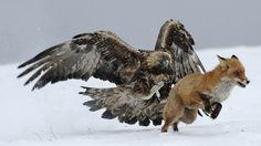 predatory birds - Google Search