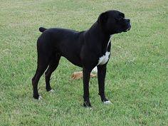 Black Boxer Dogs | http://www.blackchampionboxers.com/Isabe…