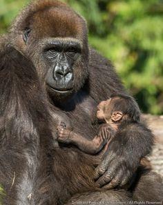 O Busch Gardens Tampa (FL) está em festa com a chegada de um bebê gorila macho. O filhote está saudável e sob os cuidados da mamãe de primeira viagem Pele (foto). Este é o segundo nascimento de sucesso dessa espécie no Busch Gardens e aumenta...