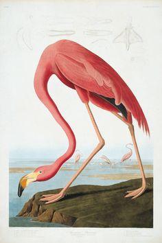John James Audubon - Robert Havell, Engraver - American Flamingo, 1838