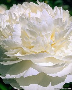 Bowl of Cream (Zones bears very large, double, pure-white flowers in midseason.Bowl of Cream (Zones bears very large, double, pure-white flowers in midseason. Peony Flower, My Flower, Cactus Flower, White Flowers, Beautiful Flowers, White Peonies, Sugar Flowers, Exotic Flowers, Yellow Roses