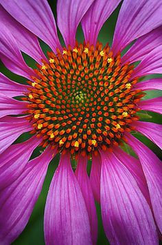 ~~Echinacea by Michael Liskay~~