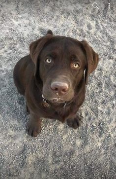Brown Labrador #chocolab #brownlab #labradorretriever Brown Labrador, Labrador Retriever Dog, Doggies, Dogs And Puppies, Chocolate Labs, Animal Room, Brown Dog, Fauna, Mans Best Friend