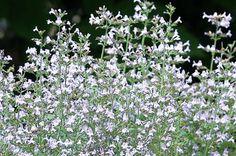Calamintha nepeta 'Marvelette Blue' | Horticulture Week