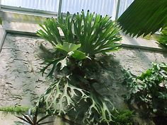 If you are given a staghorn fern or buy one, it is probably mounted on a wooden board. Description from mgonline.com. I searched for this on bing.com/images