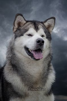 Alaskan Malamute  In honor of my sweet  KeeToo's Yukon Ta-Ha  who recently crossed the Rainbow Bridge.  I love and miss you, you little chatterbox!  My Toos-man...