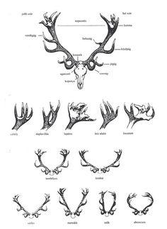 Scientific Illustration :: Deer Antlers - Make into poster Deer Skulls, Deer Antlers, Elk Skull, Antler Drawing, Deer Skull Drawing, Tattoos Motive, Reindeer Horns, Reindeer Tattoo, Pattern Wall