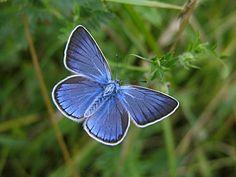 borboleta azul - Pesquisa Google