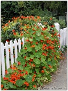 Climbing vines for fences on pinterest climbing vines for Climbing flowering plants for fences