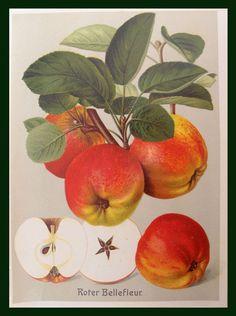 Vendita stampe antiche frutta