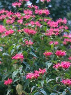 Monarda, {or Bee Balm, or Bergamot} It starts off as cluster of boring green stems and then overnight -- boom -- magenta explosions and every bumblebee for miles wants to get in on the action. Shade Tolerant Plants, Sensory Garden, Plant Information, Hardy Perennials, Garden Borders, My Secret Garden, Growing Herbs, Wild Flowers, Summer Flowers