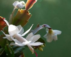 Így lesz sok virág a karácsonyi kaktuszon! – Balkonada Bird, Plants, Animals, Animaux, Birds, Flora, Animal, Animales, Plant