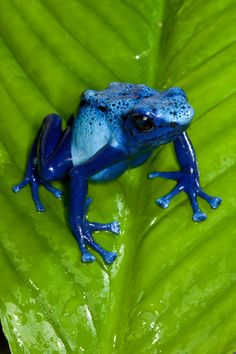 Poison frogs are often called poison dart frogs because the Choco people of western Colombia use the poison of one species, to coat the tips of the blow darts they use for hunting.