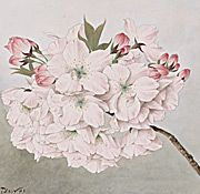 Sakura: Cherry Blossoms as Living Symbols of Friendship   Exhibitions - Library of Congress