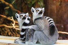 Animaux, Lémuriens, Sauvage, Nature