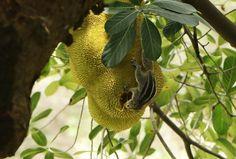 💚 Jackfruit Edible fruit Flower - new photo at Avopix.com    🆕 https://avopix.com/photo/50633-jackfruit-edible-fruit-flower    #jackfruit #edible fruit #flower #fruit #produce #avopix #free #photos #public #domain