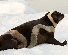 Настоящие тюлени