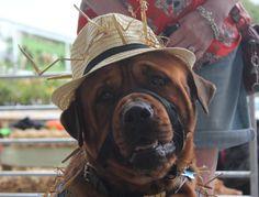 Farmer Bear Needham Dog Show, Farmer, Cowboy Hats, Bear, Dogs, Fashion, Fashion Styles, Western Hats, Doggies