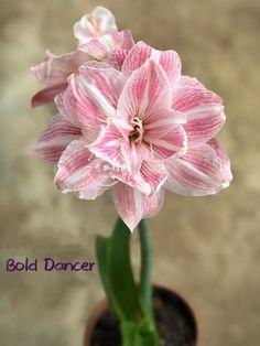 Amaryllis Plant, Amaryllis Bulbs, Garden Art, Garden Plants, Above Ground Garden, Orchid Varieties, Amarillis, Lily Bulbs, Tropical Flowers