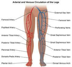 arterial and venous circulation of the legs.