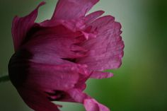 Different Poppy Photograph