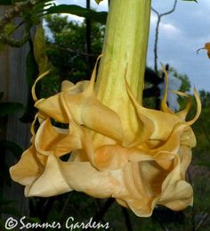 Brugmansia 'Angels Flight', one of the hundreds of Angels Trumpets in Sommer Gardens collection.