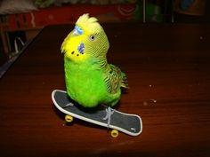 Bird on skatebord: these birds are pretty awsome!!