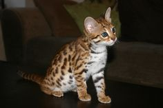 This is Sicily, an F1 Bengal (first generation from the Asian Leopard Cat).