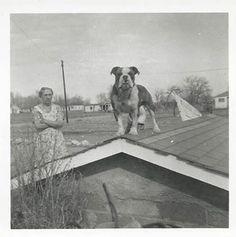 English Bulldog on roof.