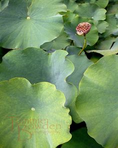 """Lotus Seed Pod"" 8x10 Original Photograph by Tammie Bowden"
