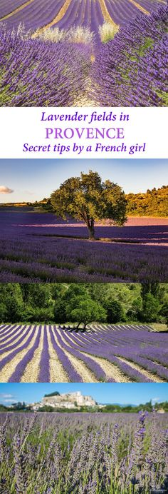 Where to see the most beautiful lavender fields in Provence? Secret tips by a local. #Provence #France #lavender