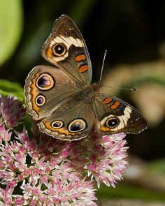 The Common Buckeye Butterfly. Photo credit: Thinkstock - interesting facts about butterfiles Butterfly Identification, Buckeye Butterfly, Wedding Symbols, Most Beautiful Butterfly, Small Cabbage, Butterfly Species, Network For Good, Backyard Birds, Natural Wonders