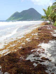 Depuis 2014, je tiens une page sur les sargasses en Martinique.   En 2018, elle est particulièrement active car nous subissons des flux et des flux d'arrivantes. Je suis plus particulièrement les plages du Diamant, de petit Macabou, de communes sur la côte atlantique...  Vous trouverez également divers liens informatifs sur le phénomène...  Multiples images, infos et détails vous attendent par là: https://madikeravoyages.fr/crbst_549.html