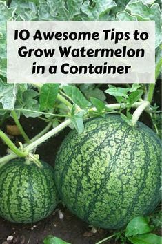 10 awesome tips to grow watermelon in a container Youre gonna want to try this Container Gardening How to Grow Watermelon Growing a Watermelon in a Container Indoor G. Fall Vegetables, Container Gardening Vegetables, How To Grow Vegetables, Growing Vegetables Indoors, Hydroponic Gardening, Organic Gardening, Gardening For Beginners, Gardening Tips, Kitchen Gardening