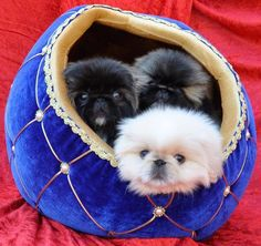 Pekes in a cup! Pekingese dogs and puppies