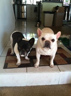 Chanel-Pierre-French-Bulldogs