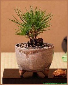 How to make a bonsai Bonsai Tree Types, Bonsai Tree Care, Indoor Bonsai Tree, Mini Bonsai, Indoor Plants, Plantas Bonsai, Plants Are Friends, Miniature Trees, Paludarium