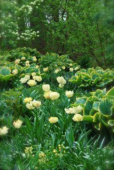 Tulipa 'Akebona' and Hosta 'Tokudama' tumbling down the hill beside Asian Woods.