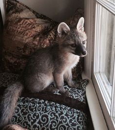 Bindi, pet fox