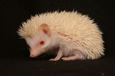 i am getting an albino (spirit) hoglet in the coming year from a wonderful breeder, so excited i could cry