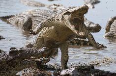 Hubby kills croc that ate pregnant wife .. http://www.emirates247.com/offbeat/crazy-world/hubby-kills-croc-that-ate-pregnant-wife-2015-01-14-1.576504