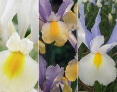 Buy dutch iris collection Beauty Iris collection - Buy 2 collections for and get another collection FREE: Delivery by Waitrose Garden Cut Flowers, Colorful Flowers, Dutch Iris, Garden Shop, Bloom, Bulb, Seasons, Spring, Plants