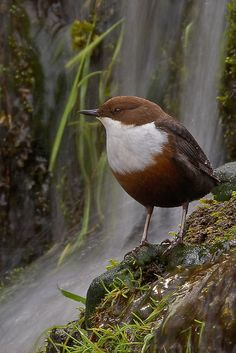 Koskikara Slow Dipper (Cinclus cinclus), White Throated Dipper found in the waterways of Europe and Asia Pretty Birds, Love Birds, Beautiful Birds, Small Birds, Little Birds, Exotic Birds, Bird Species, Chow Chow, Wild Birds