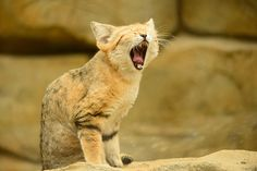 The Sand Cats outer ear is similar to that of a domestic cat, but its ear canal is about twice the size. Its hearing sensitivity is about 8 decibels greater. Felis Margarita, Main Street America, Wild Cat Species, Turtle Facts, Small Wild Cats, Sand Cat, Cat Wallpaper, Domestic Cat, Gatos