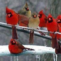More cardinals in the winter - beautiful birds Pretty Birds, Love Birds, Beautiful Birds, Animals Beautiful, Cute Animals, Animals Amazing, Pretty Animals, Simply Beautiful, Baby Animals
