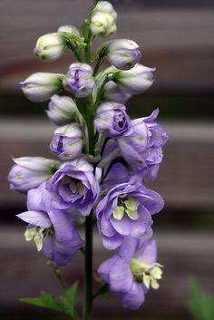 Lark Spur flower for July