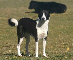 CANAAN DOG. One of the rarest breeds and one of the only natural ones. Possibly the first domestic breed. Great for outdoors