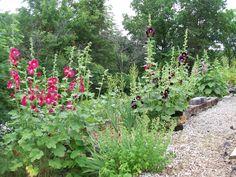 hollyhock gardens | Tall Hollyhock Garden - Self-Seeding