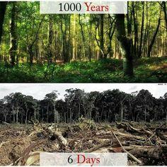 Un bosque maduro al que le llevó 1000 años crecer, puede ser destruido en tan solo 6 días.